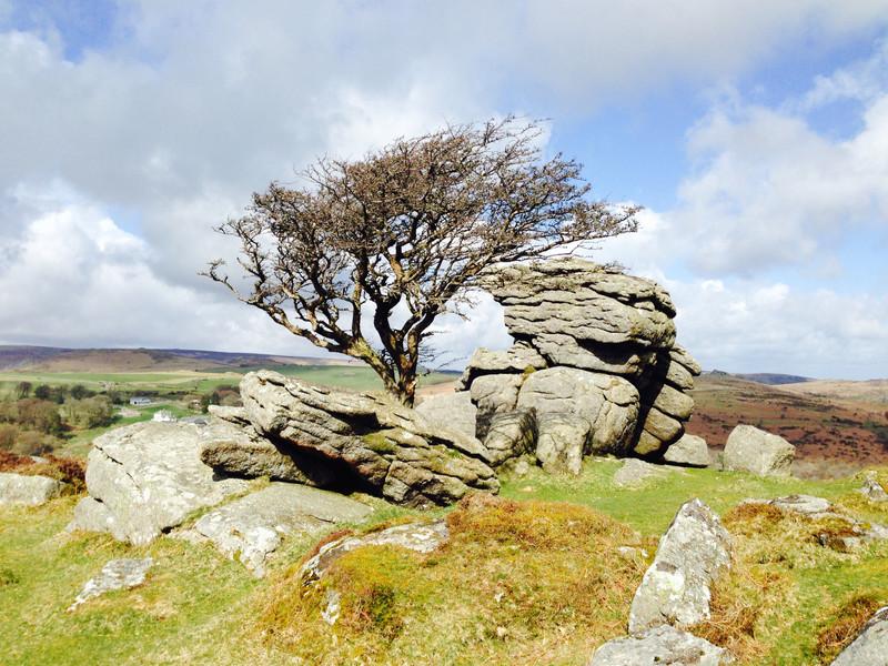 Windswept Tree Dartmoor