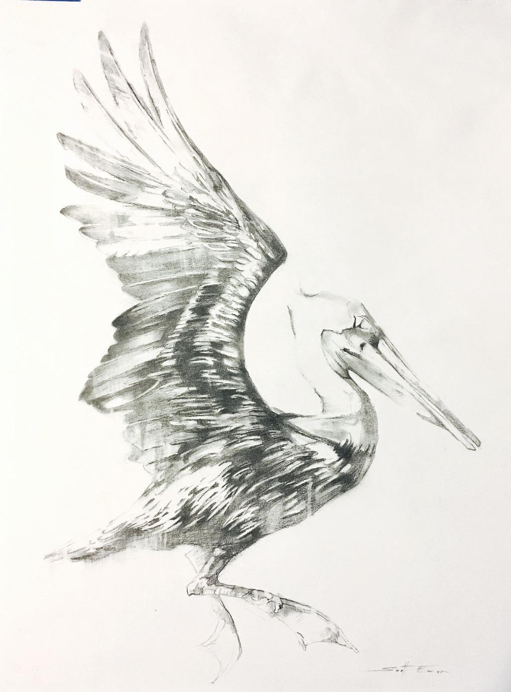 Pelican #3