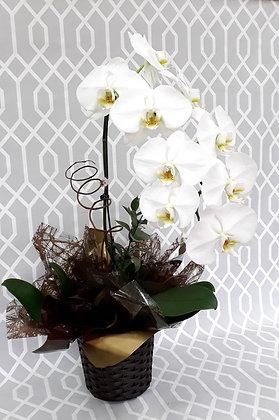 Cascata - Orquídea Phalaenopsis Branca