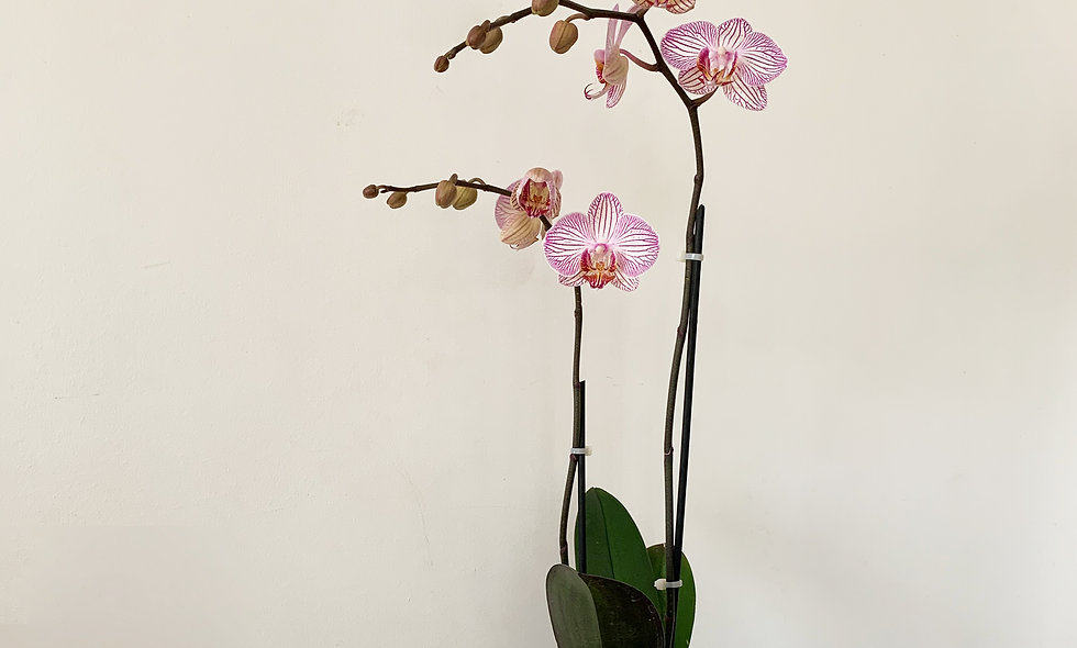 Orchid plant and ceramic pot