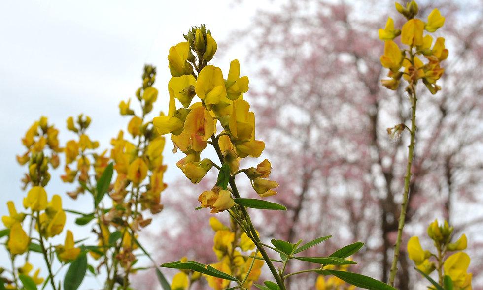Honeybush -biologische teelt - 75 gr.