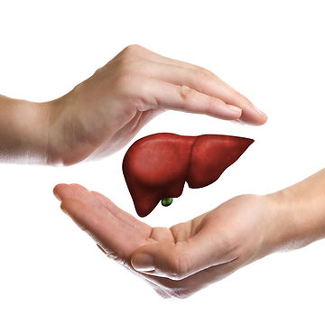 A human liver between two palms of a wom