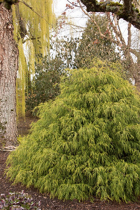 Gold Charm False Cypress