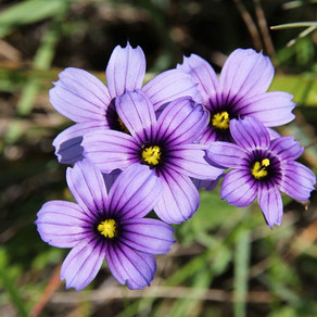 How to Grow Sisyrinchium
