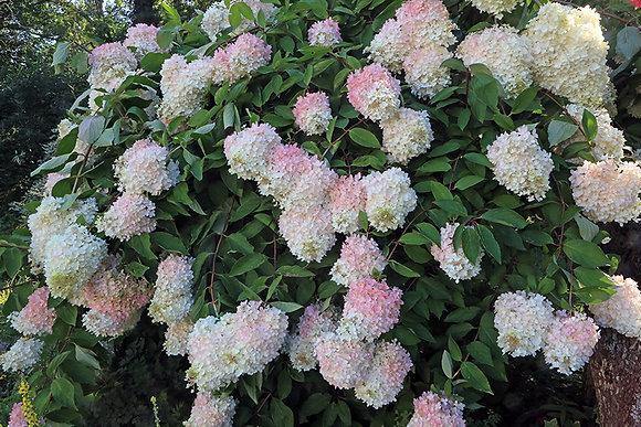 PeeGee - Grandiflora Hydrangea Paniculata