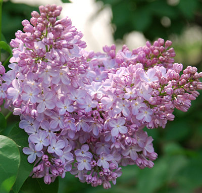 Belle de Nancy French Hybrid Lilac