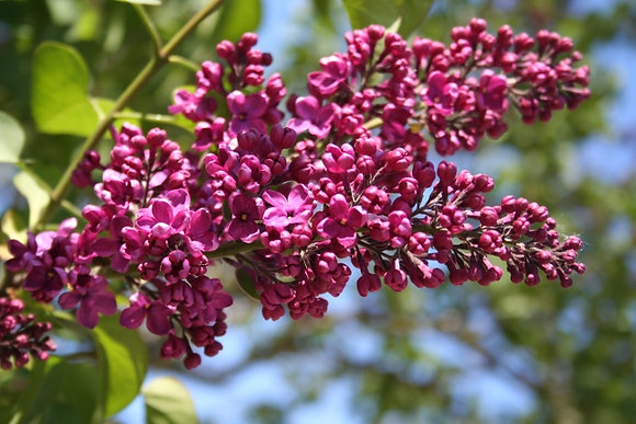 Charles Joly French Hybrid Lilac
