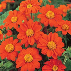 How to Grow Tithonia