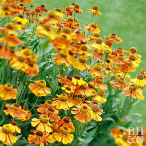 How to Grow Helenium