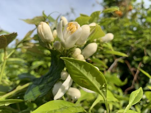 5月の柑橘の花です