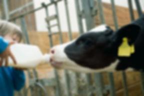 Child Feeding Calf