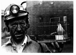 El canario del minero