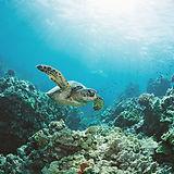 Meeresschildkröte