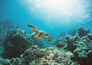 Turtle swimming through the ocean