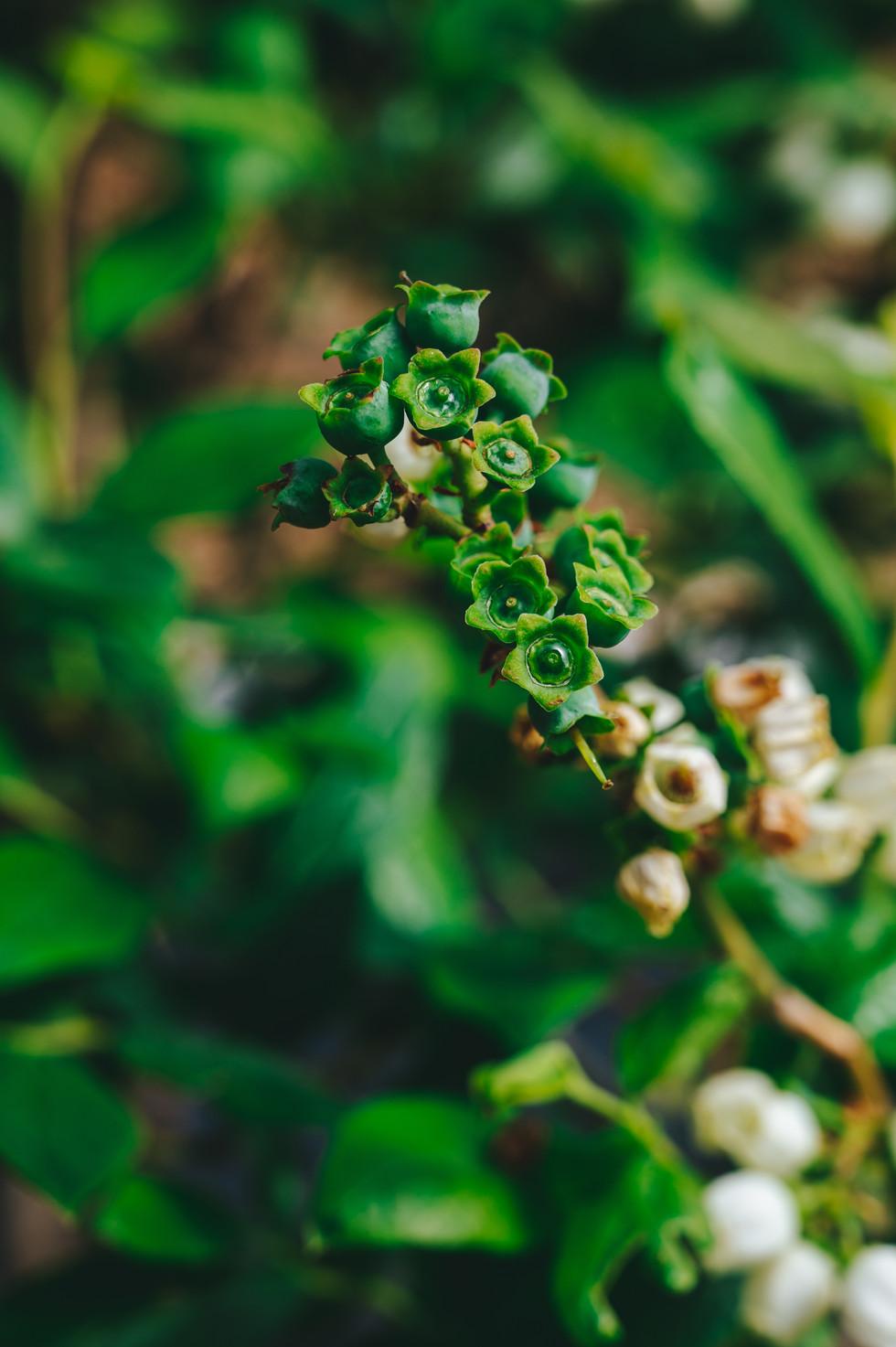 Berry plant