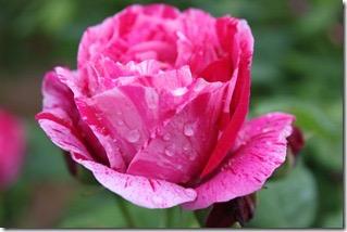 Rose du parc Azay[3]