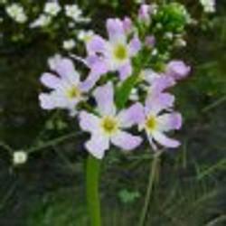 phoca_thumb_m_Hottonia-palustris-marek