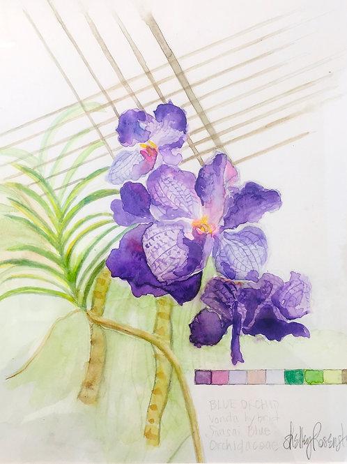 Watercolor; Botanical Illustration: Sansai Blue Orchid