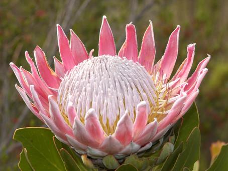 What is Fynbos?
