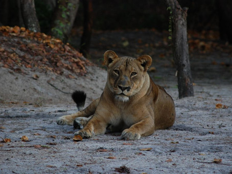 Remembering Lady Liuwa, the 'Last Lioness' of Liuwa Plain