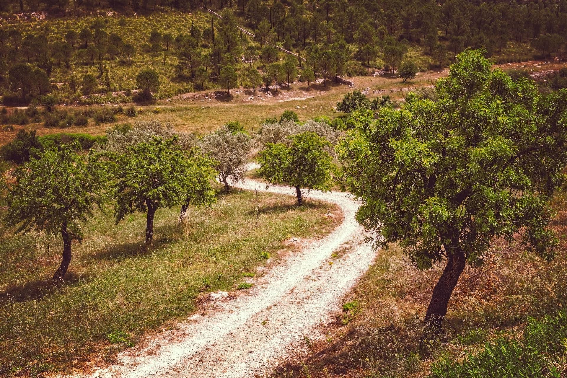 Olijfboomvelden
