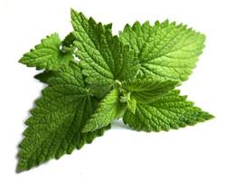 fresh mint flavor