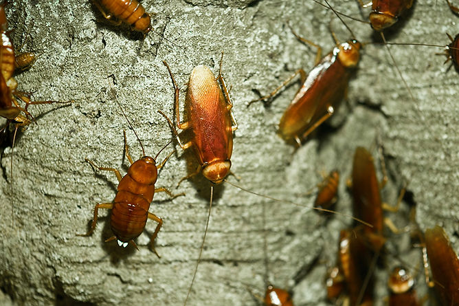 Get Rid Of Household Bugs Cockroach, get rid of household bugs, bugs that torment, how to kill bugs, get rid of pests, bugs in my house, pests in my house