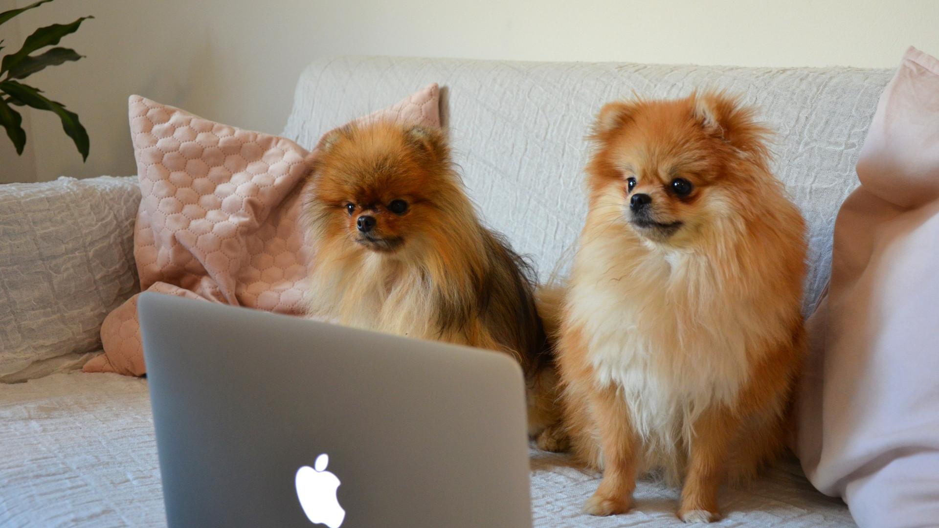 Zwei Hunde vor dem Computer, Helfer von Kalena Designs der günstige Webdesigner in Graz