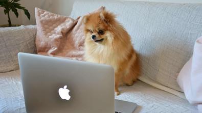 Pomeranian vor dem Computer von Kalena Designs Webdesign in Graz