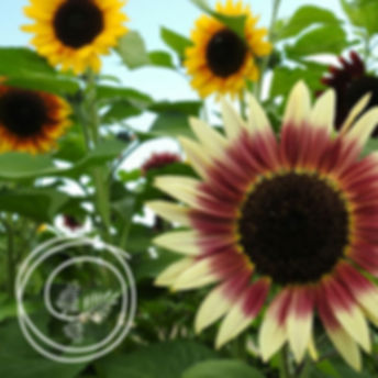 Spring-2020-Sunflower-630x630-1.jpg