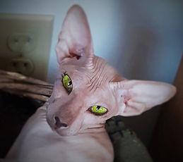Aliencat Kissca Peterbald
