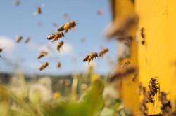 Honey_Bees-1024x683