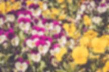 pansies.jpg