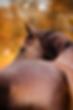Pferd Callas