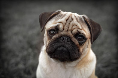 pug picture | Royal Cats & Dogs