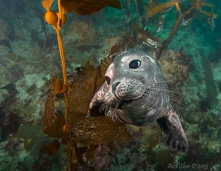 Harbor Seal Kid - Santa Cruz, CA