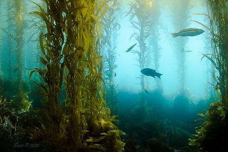 Kelp Forest near Anacapa Island, CA