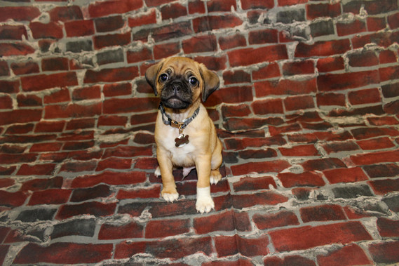 PR - Sound Marketing Introduces Percy the Puggle