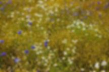 chamomile-blossoms-776851_640.jpg