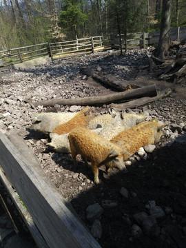 Die Gruberhof Wollschweine