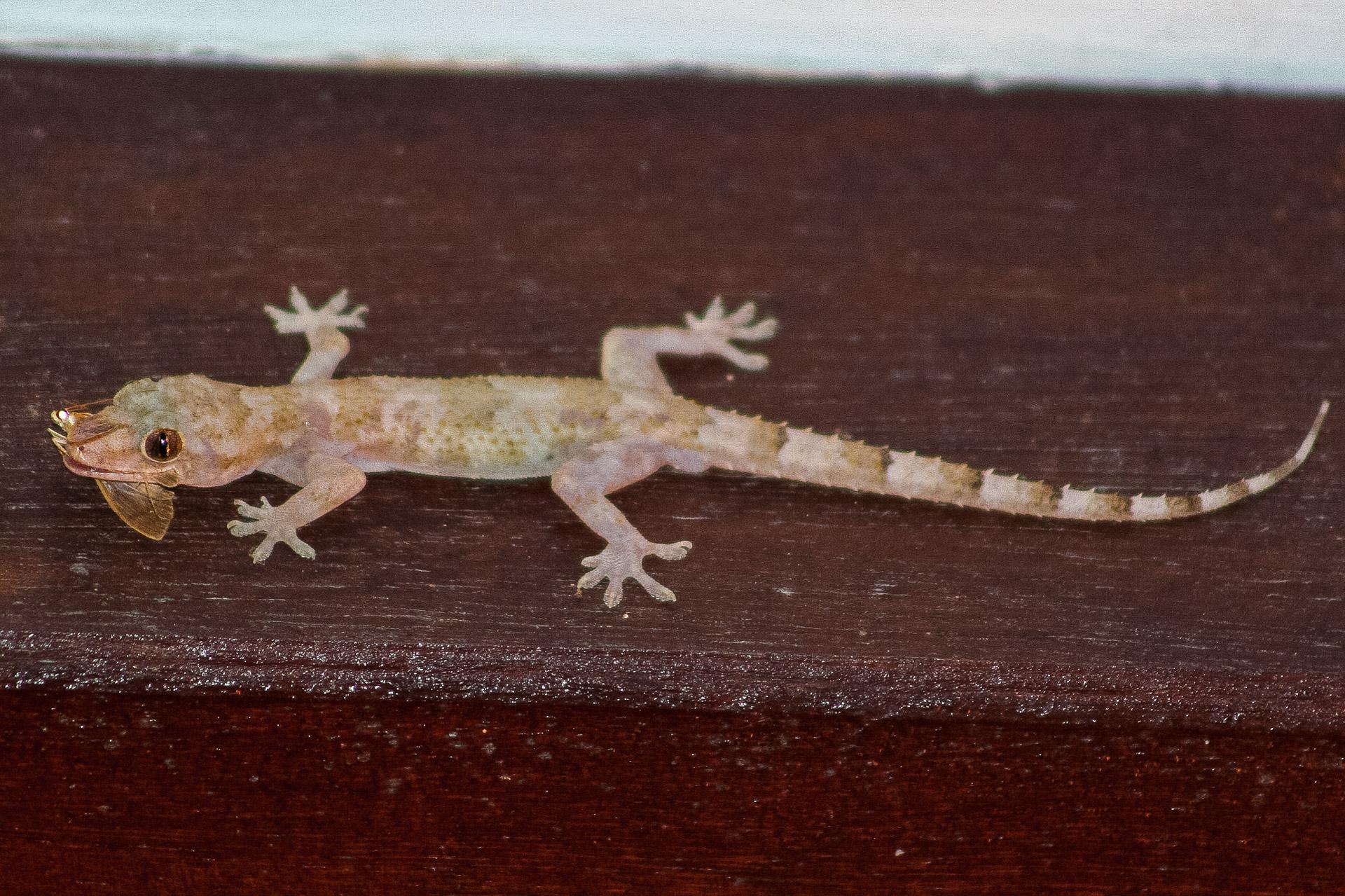 Mabouya ou Geckos
