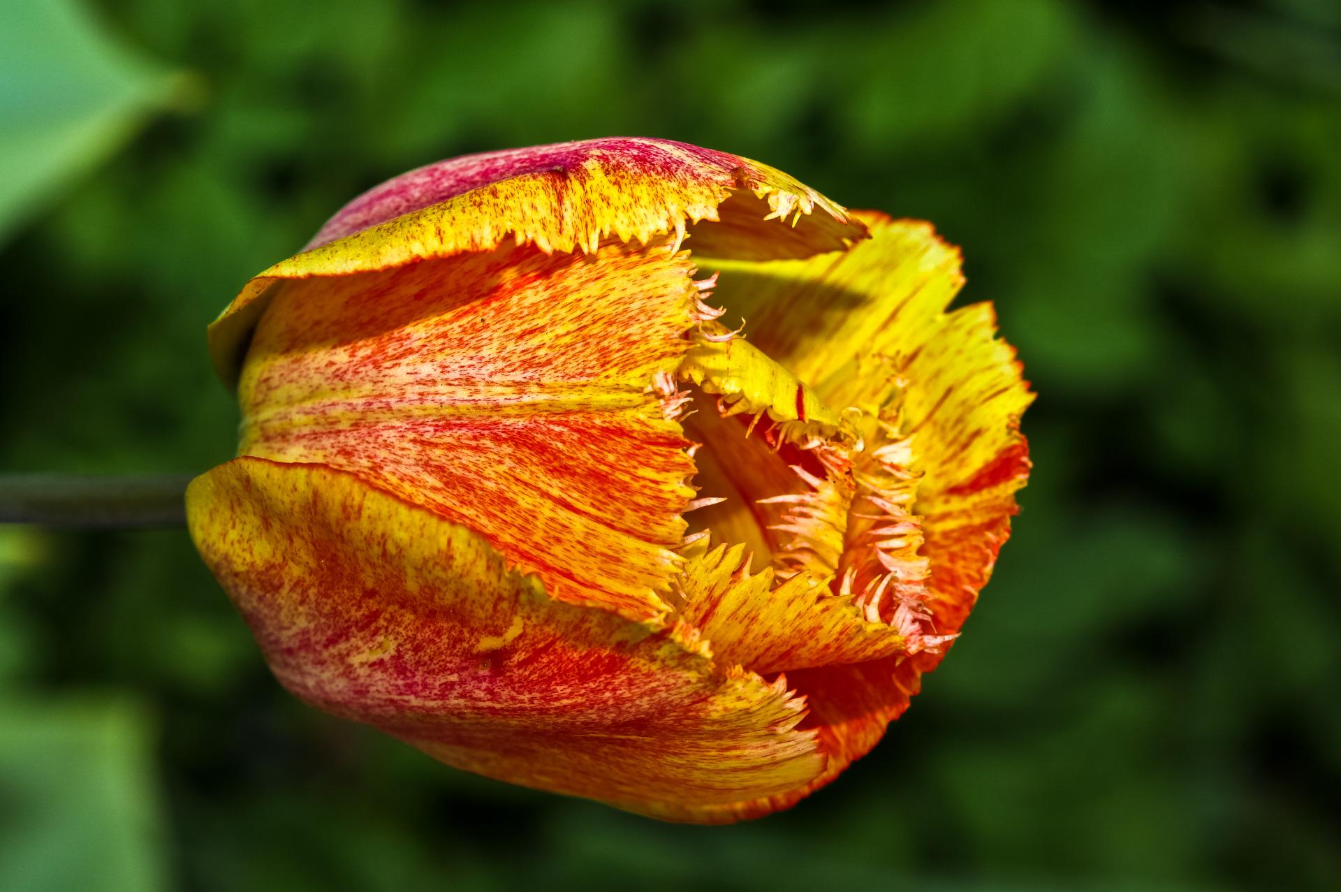 Tulipe frangée