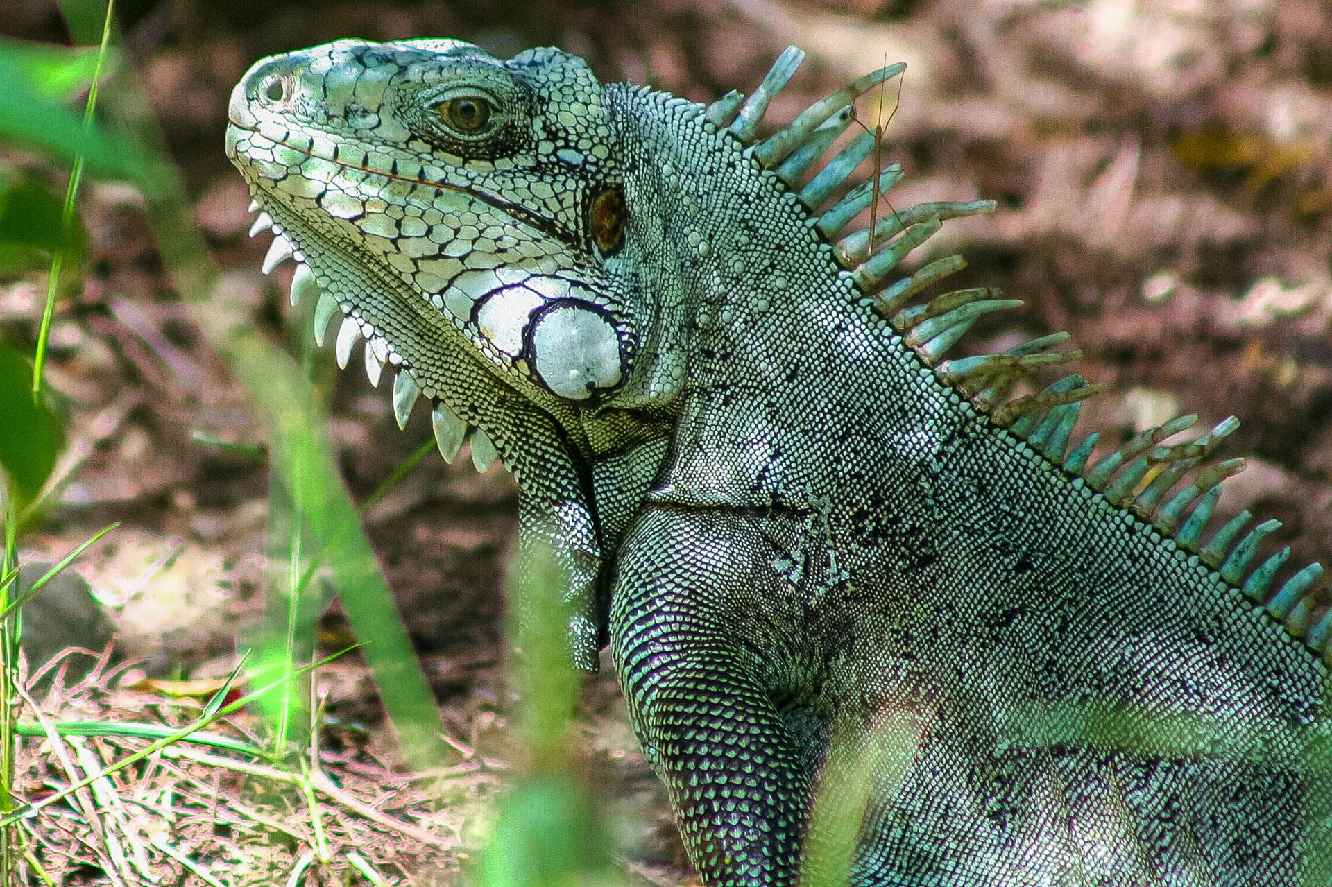 Iguane et phasme bâton