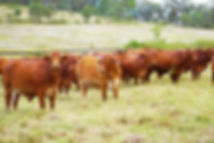 Replacement heifers2 sml.jpg