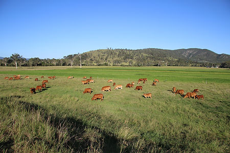 Edwards cows at Bennets sml.jpg
