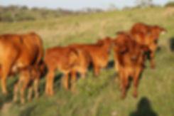 chief calves 3.jpg