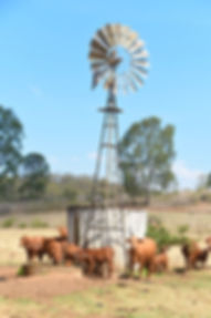 cows and windmill_edited.jpg