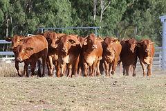 Sale heifer image for catalogue_edited.j