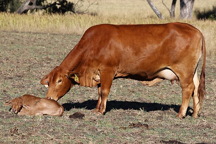 Cow and calf_edited.jpg