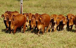 heifers for colleen.jpg